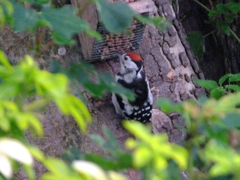 Great spotted Woodpecker - Dendrocopus major