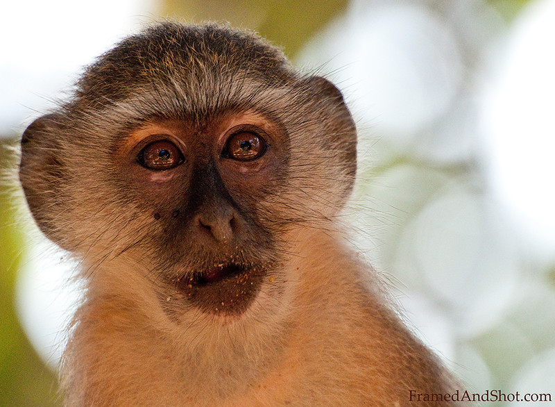 <h4>Macaque II</h4>