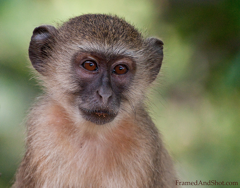 <h4>Macaque I</h4>