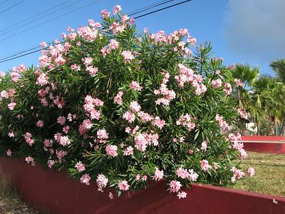 oleander blooms, Anguilla