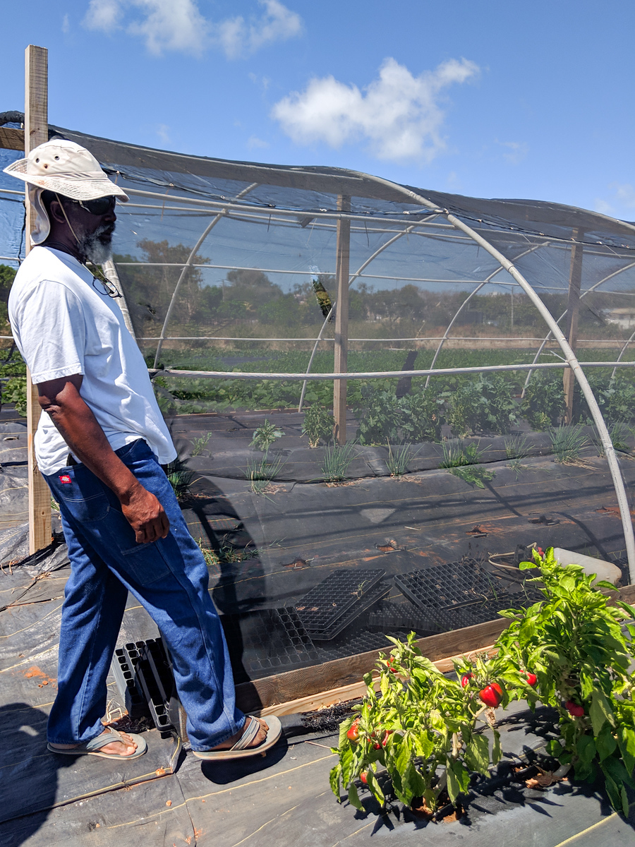 Organic grower on Anguilla island