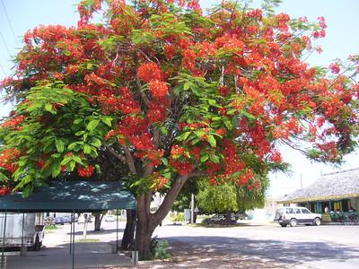 flamboyant tree- local to anguilla
