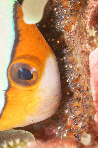 Anemone Fish on Eggs (Top Critter #3)