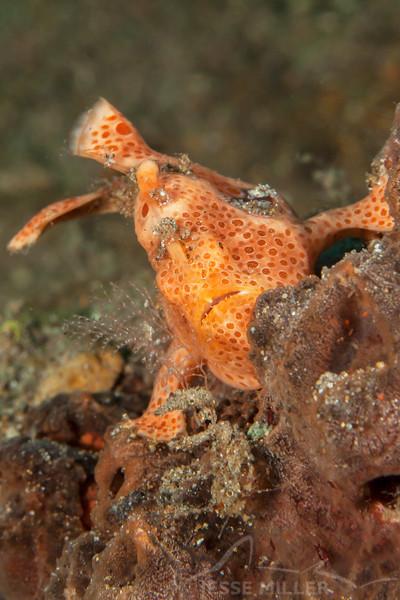 Juvenile Frogfish