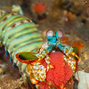 Peacock Mantis Shrimp (Top Critter #7)