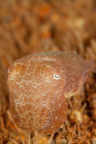 Cuttlefish, Juvenile