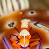 Emperor Shrimp on Nudibranch (Top Critter #11)