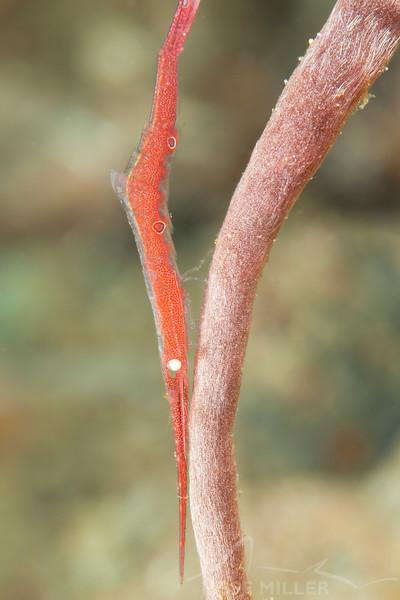Saw-Blade Shrimp