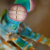 Peacock Mantis Shrimp (Top Critter #7)