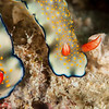 Nudibranch - Hypselodoris Bollandi