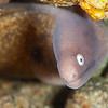 White-Mouthed Moray Eel