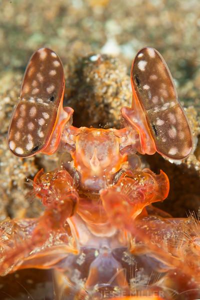 Giant Mantis Shrimp
