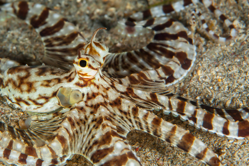 Mimic Octopus (Top Critter #6)