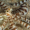 Mimic Octopus (Top Critter #6)