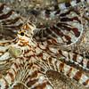 Mimic Octopus (Top Critter #7)