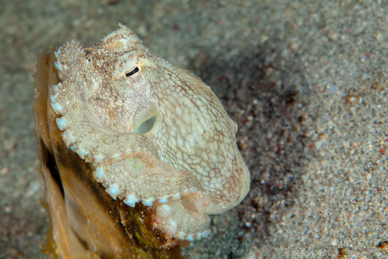Coconut Octopus (Top Critter #20)