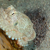 Coconut Octopus (Top Critter #20)