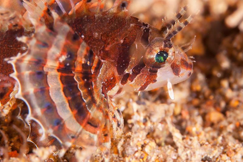 Juvenile Lion Fish