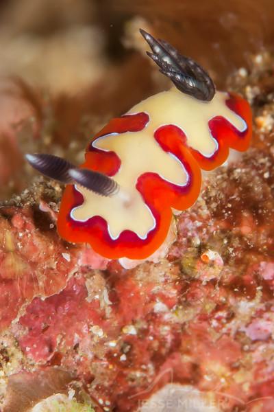 Nudibranch - Goniobranchus Fidelis