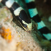 Banded Sea Snake (Top Critter #19)