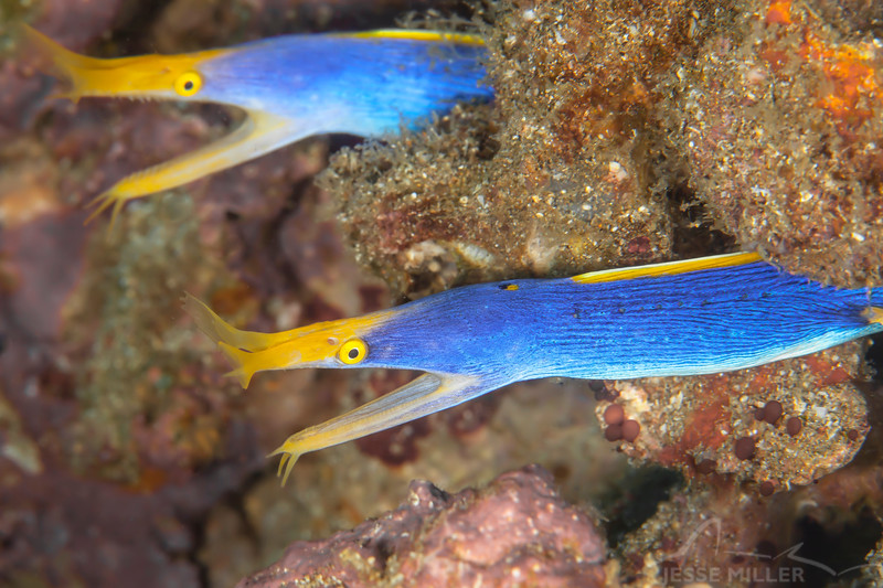 Blue Ribbon Eels (Top Critter #4)