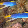 Blue Ribbon Eels (Top Critter #4)