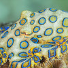 Blue-Ringed Octopus (Top Critter #1)