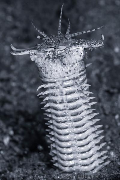Bobbit Worm (Top Critter #17)