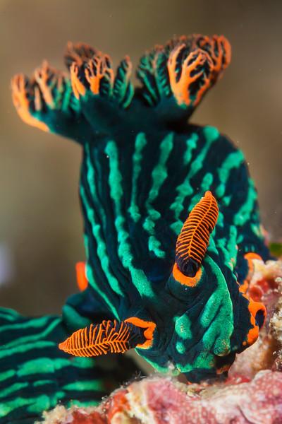 Nudibranch - Nembrotha Kubaryana