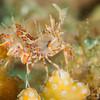 Tiger Shrimp (Top Critter #15)