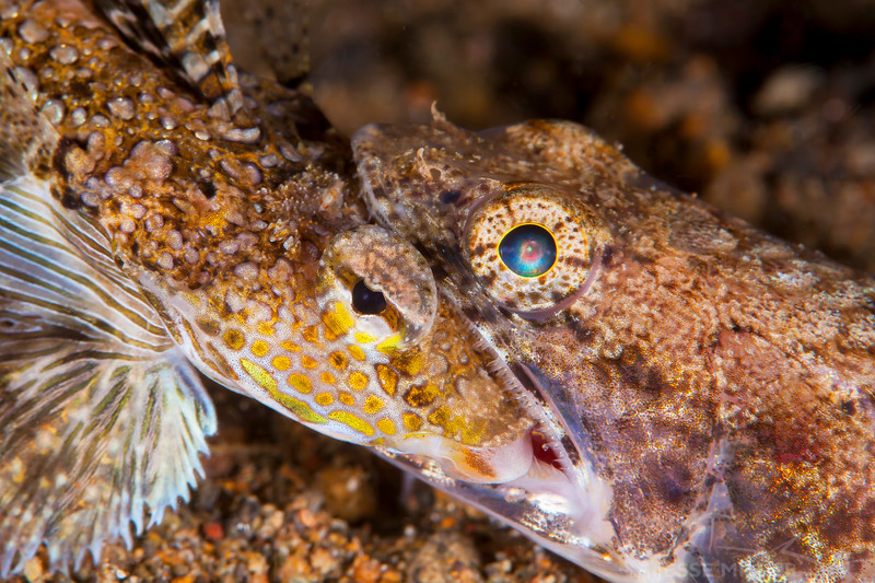 Lizard Fish eating another Fish