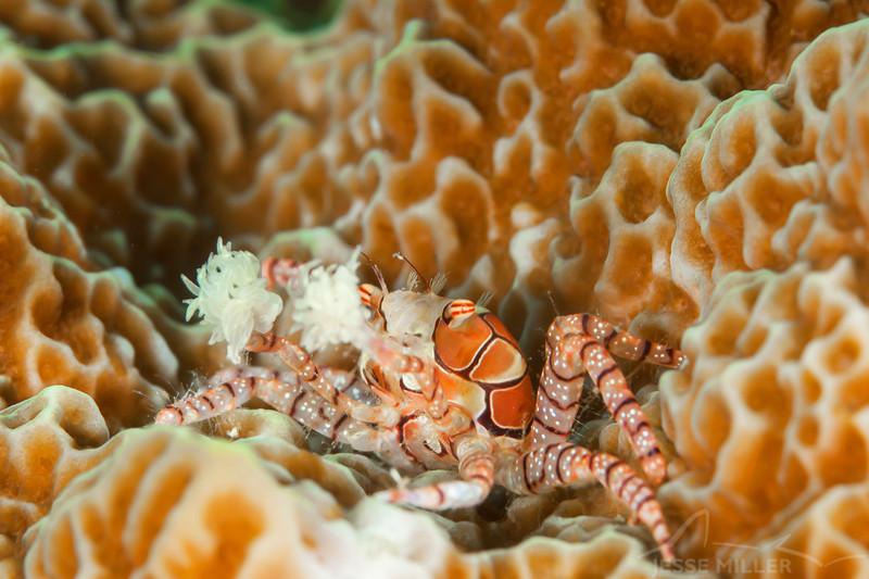 Boxer Crab (Top Critter #14)