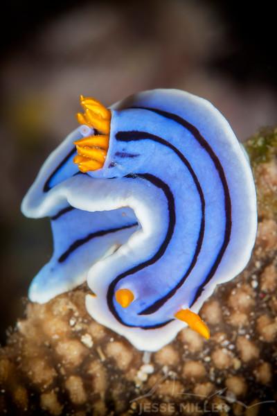 Nudibranch - Chromodoris