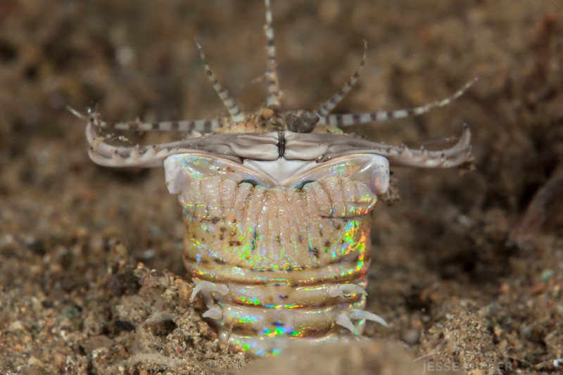 Bobbit Worm (Top Critter #17)