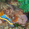 Nudibranch - Chromodoris