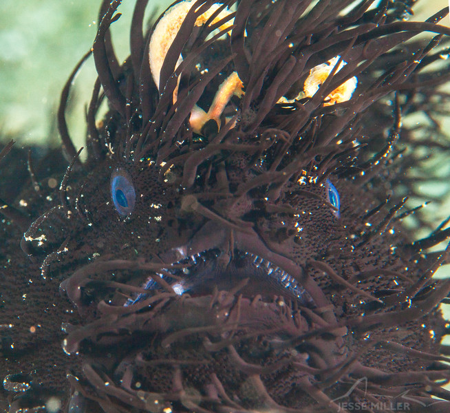 Hairy Frogfish (Top Critter #9)