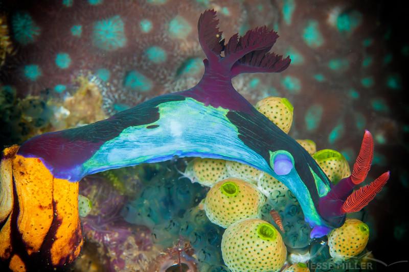 Nudibranch - Nembrotha Chamberlaini