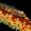 Goby on Sea Whip
