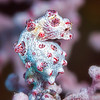 Pygmy Seahorse (Top Critter #2)