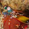Peacock Mantis Shrimp (Top Critter #8)
