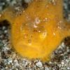 Hairy Frogfish, Juvenile (Top Critter #9)