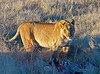 Lioness guiding her kill.