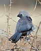 Grey Go-away-bird.