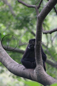 An introspective monkey. Panajchael, Guatemala.