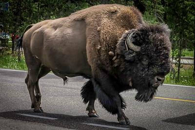 Bison Roadtrip