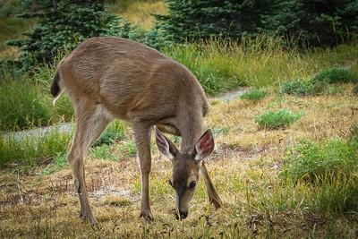 Hurricane Ridge Blacktail Deer