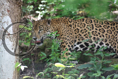 The jaguar is pound for pound the most formidable of all big cats. Lake Peten Itza, Guatemala.