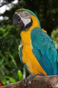 Blue and Gold Macaw. Ruinas de Copan, Honduras.