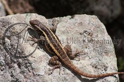 Lizard.  Ruinas de Copan, Honduras.