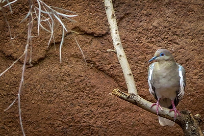 Mourning Dove in the Desert Dome